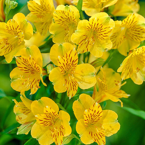 Andes Yellow Peruvian Lily Breck S