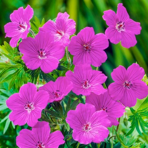 Everblooming Hardy Geranium Collection Breck S