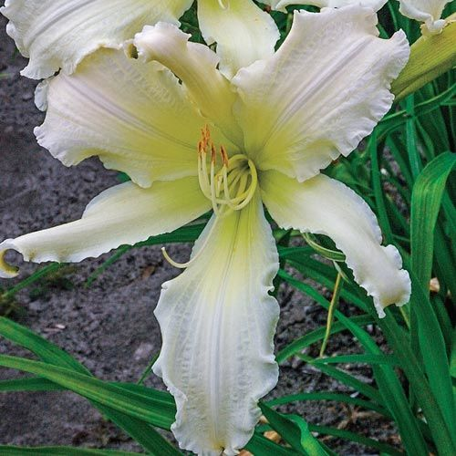 Heavenly Angel Ice Reblooming Daylily
