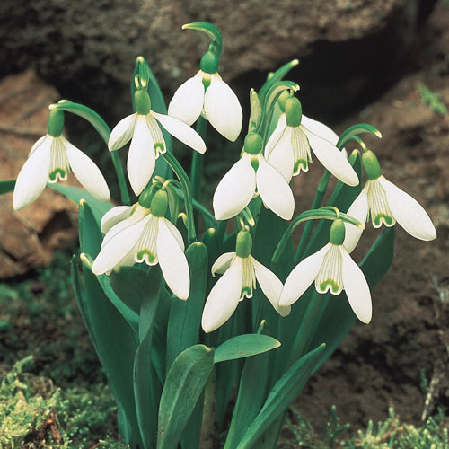 Early Snowdrops For Sale Breck S