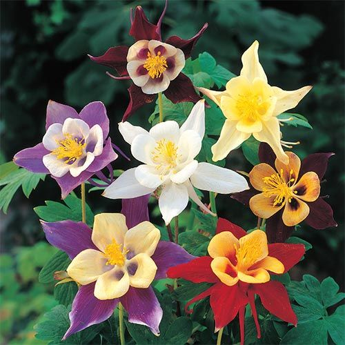 Giant Columbine Mixture Buy Online Breck S