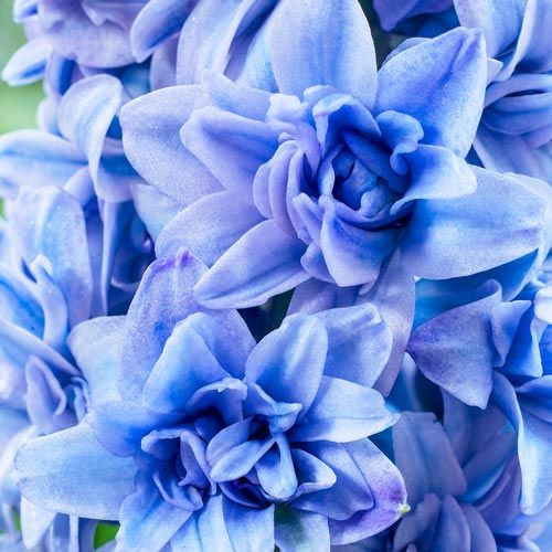 Blue Tango Double Hyacinth Breck S