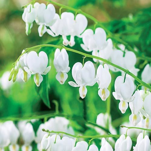 White Old-Fashioned Bleeding Heart