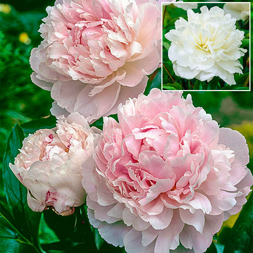 Buy Shirley Temple Peony Breck S