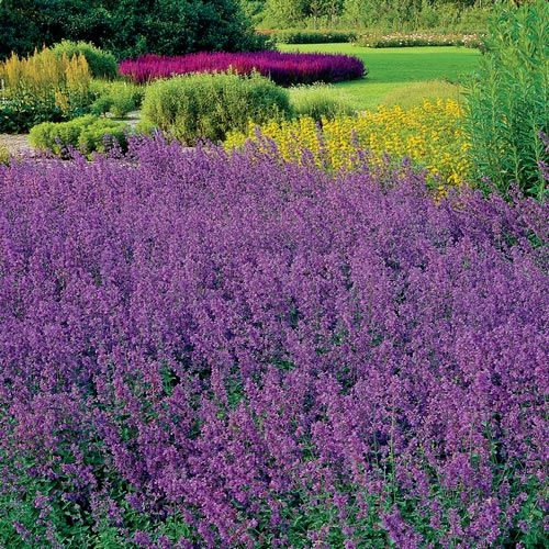 Catmint Walkers Low Breck S