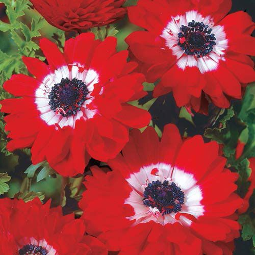Double Daisy Anemone The Governor