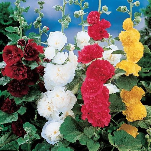 Double Hollyhock Mixture