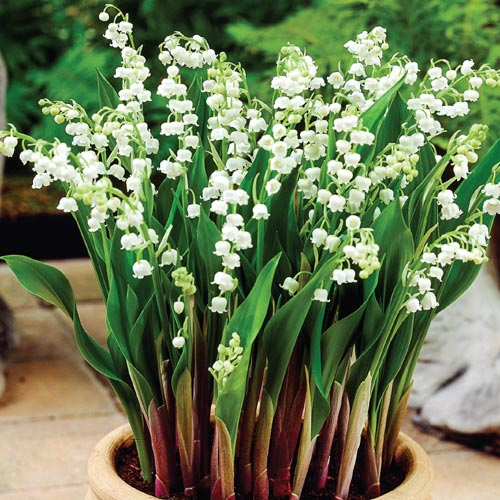 Doreen Lily Of The Valley Breck S