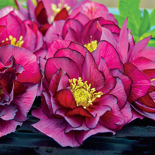 Buy Double Hellebores Wedding Party Collection Breck S