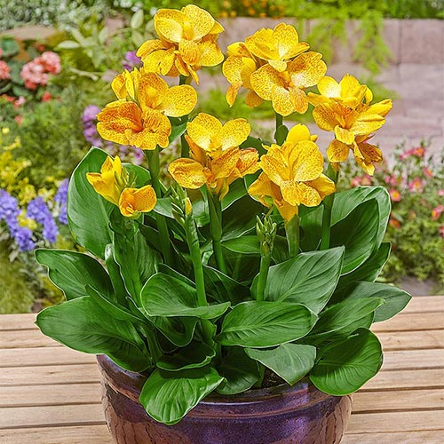 Canna Plants For Sale Happy Emily Breck S