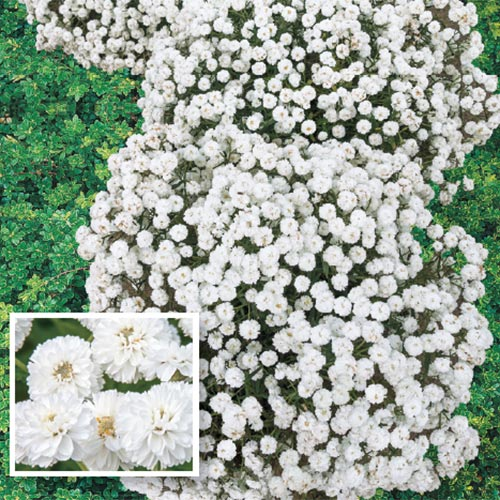Diadem Double Yarrow
