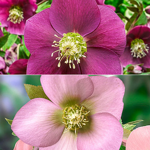 Single-Bloom Wow!® Hellebore Duet