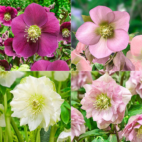 Four to Adore Wow!® Hellebore Collection