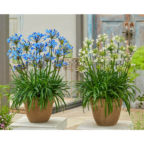 Agapanthus Collection Breck S