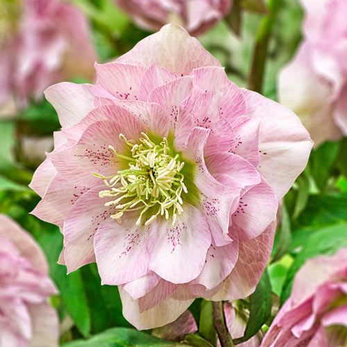 Pink Frost Double Hellebore Breck S