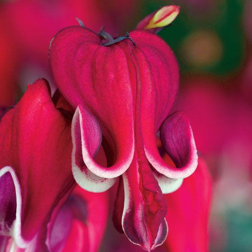 Burning Hearts Dicentra