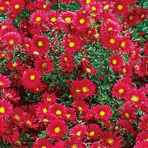 Crimson Brocade Michaelmas Daisy