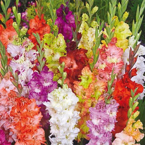Fringed Glamini® Gladiolus Mixture