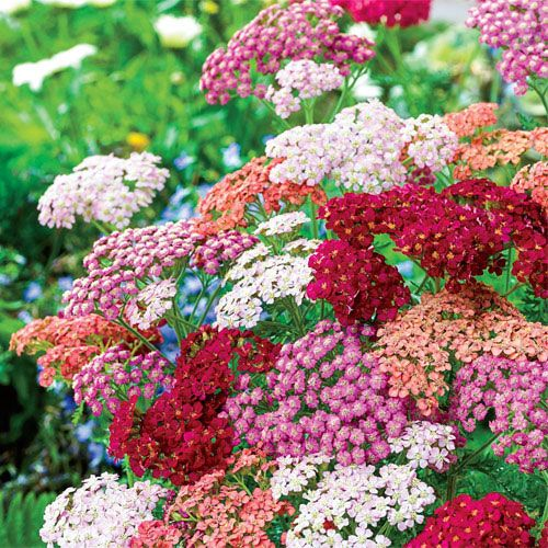 Tutti Frutti Yarrow Mixture