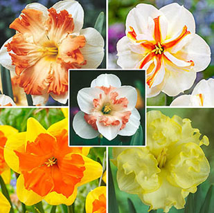 Butterfly Daffodil Collection