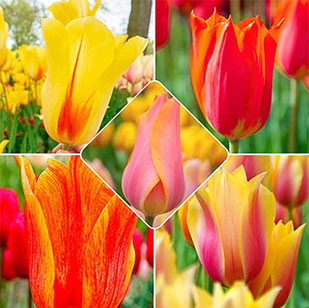 Wow!® Towering Perennial Tulip Collection