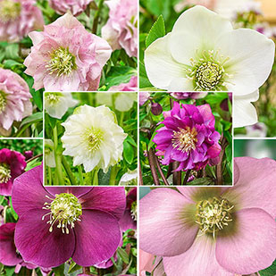 Double-Flowered Wow!<sup>&reg;</sup> Hellebore Collection