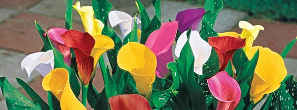 Calla Lilies Tips And Growing Instructions Breck S
