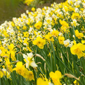 Mixed Daffodils for Naturalizing