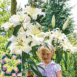 Giant Orienpet Lily Pretty Woman
