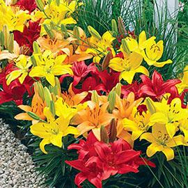 Dwarf Asiatic Lily Mix