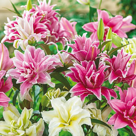Roselilies Mixed Lilies
