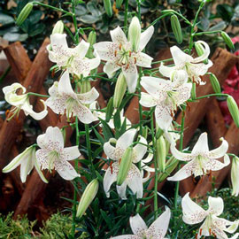 Old-Favorite Lilies White Tiger