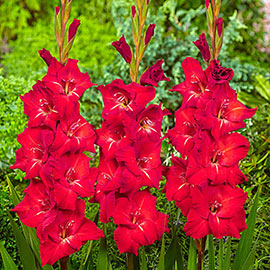 Gladiolus Traderhorn