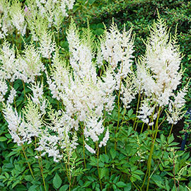 Astilbe Diamond