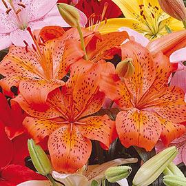 Asiatic Lily Orange County