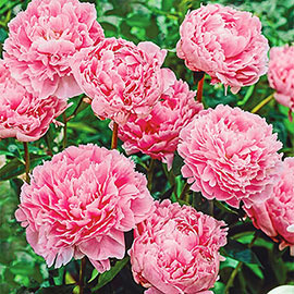 Double Peony Light Pink