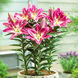 Oriental Lily Entertainer