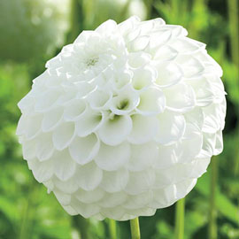 Giant Ball Dahlia Boom Boom White