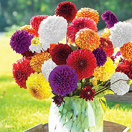 Giant Ball Dahlia Mix