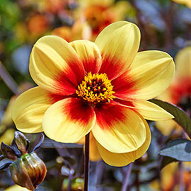 Dark-Leafed Sunshine Dahlia