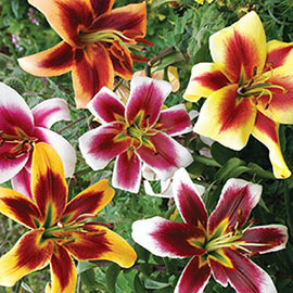 Giant Hybrid Lily Mix
