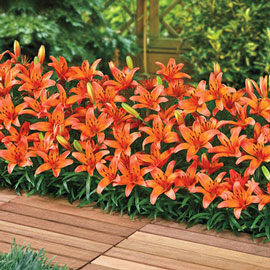 Border Lilies Abbeville's Pride<sup>®</sup>