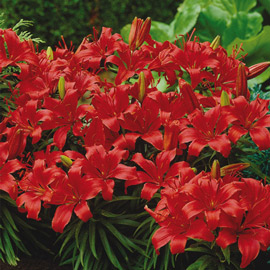Border Lilies Sweet Lord