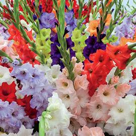 Hybrid Gladiolus