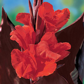 Giant Canna Red King Humbert