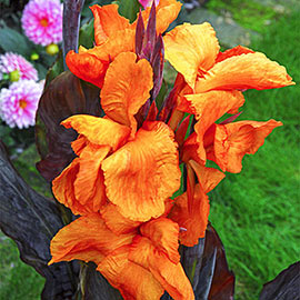 Giant Canna Wyoming