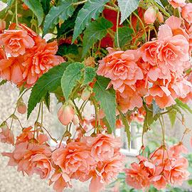 Double Hanging Basket Begonias Apricot