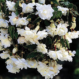 Double Hanging Basket Begonias White