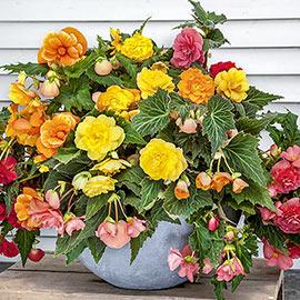 Double Hanging Basket Begonias Mixed