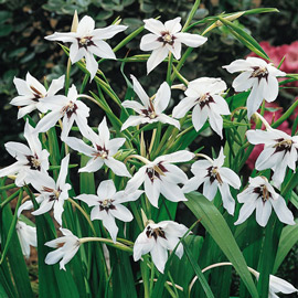 Other Flower Bulbs